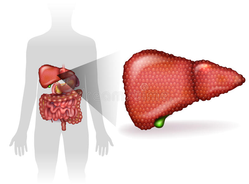 Liver illness. Liver disease anatomy illustration, variety of illnesses can affect the liver- cirrhosis, alcohol abuse, hepatitis. Human silhouette with internal vector illustration