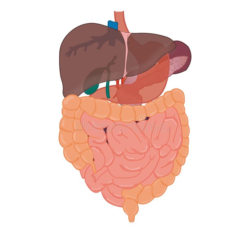 Liver and intestines anatomy royalty free stock image