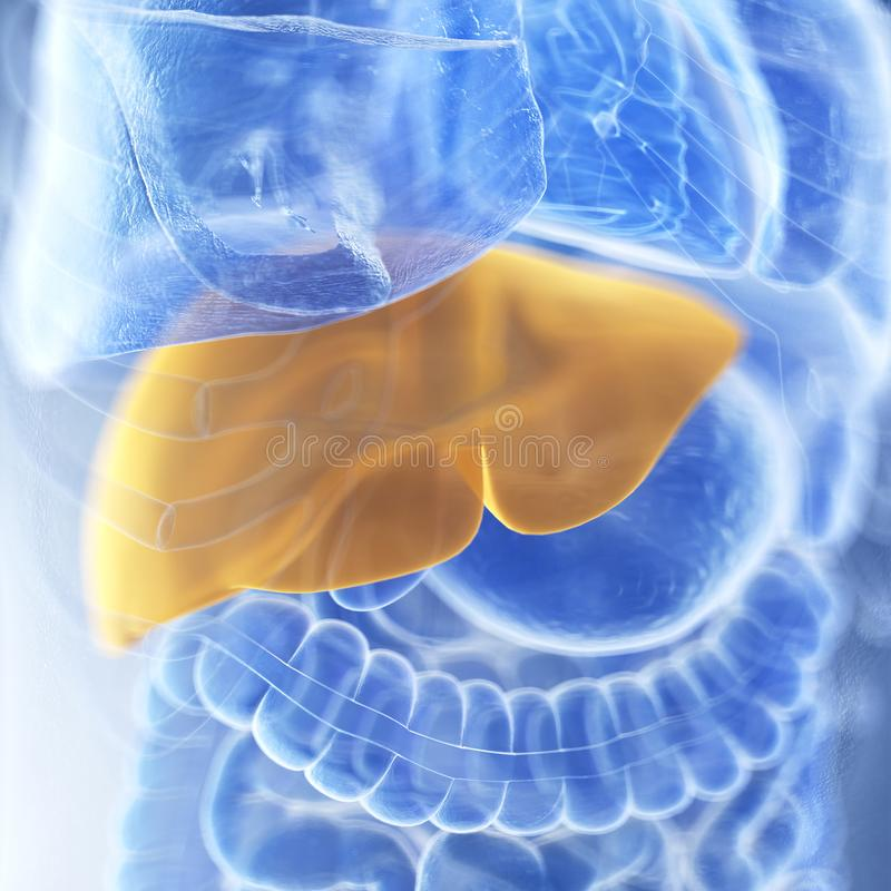 The liver. Medically accurate illustration of the liver royalty free illustration