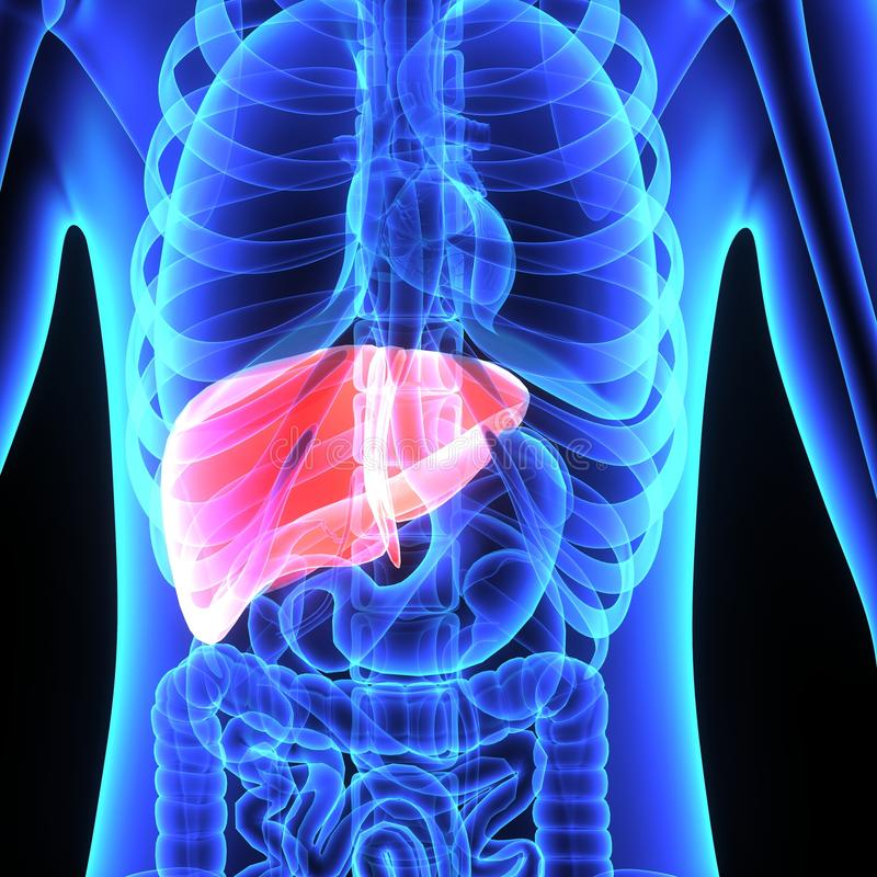 Liver. Weighing in at around 3 pounds, the liver is the body's second largest organ; only the skin is larger and heavier. The liver performs many vector illustration