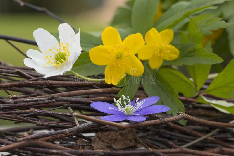 Liverleaf blue,white, yellow spring flowers. Together royalty free stock photo