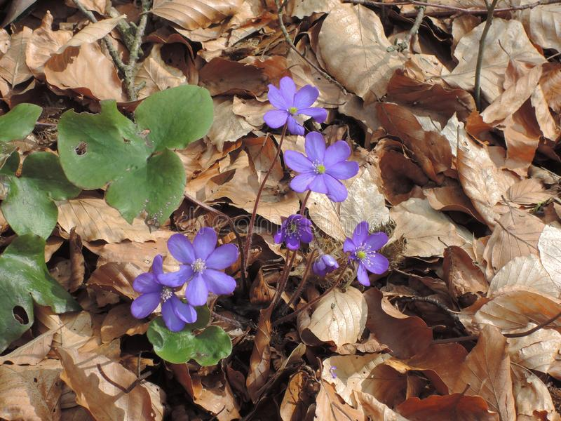Liverleaf flower in the forest with blue purple blossom royalty free stock image