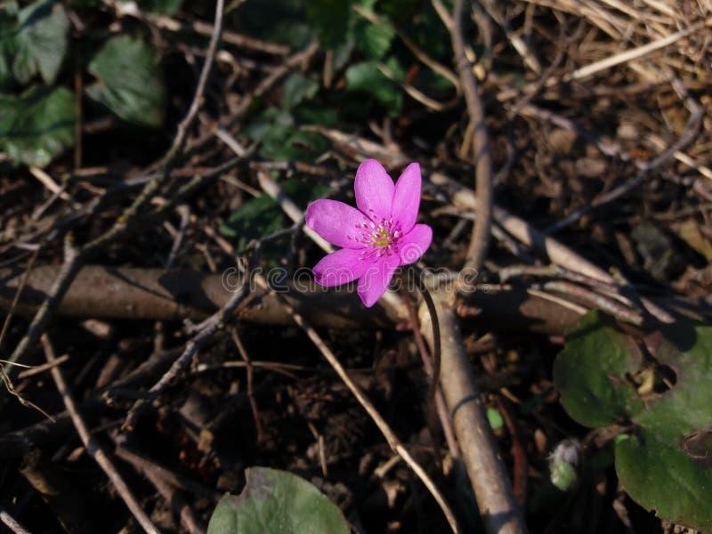 Liverleaf oder Hepatica, eins vom ersten blüht, um am Frühling zu blühen Rosa Veränderung stockfotos