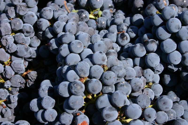 Livermore Grapes royalty free stock photo