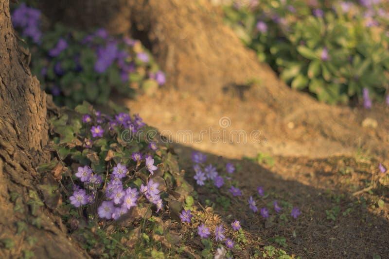 liverwort stockfoto