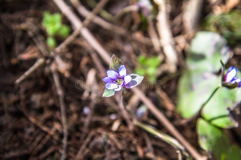 Liverwort-Blume lizenzfreies stockfoto
