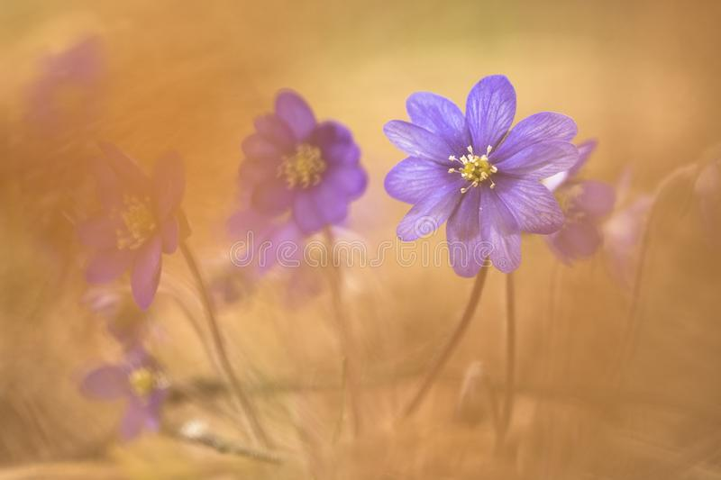 Liverwort hepatica dreamy style. Liverwort hepatica wood anemone with defocused dry leaves forming a soft focus background and foreground. Photo is shot in a royalty free stock image
