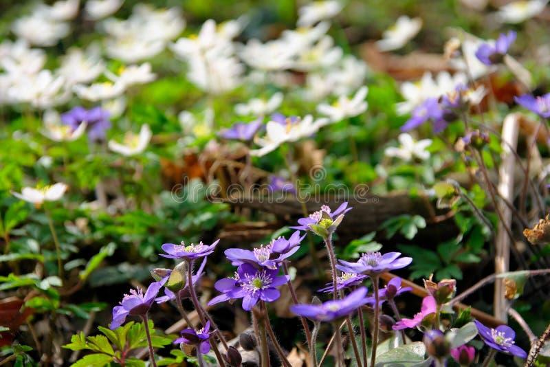 Liverworts en windflowers royalty-vrije stock foto