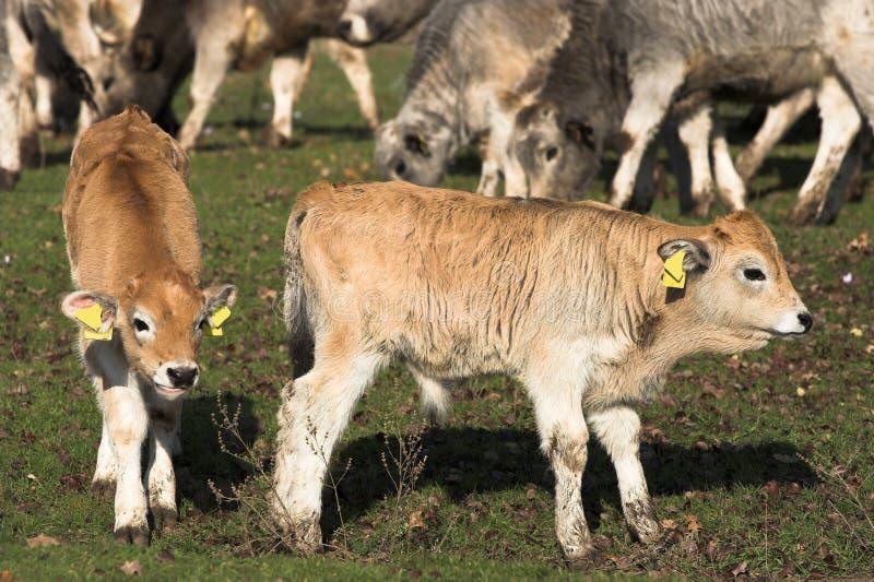 Livestock stock images