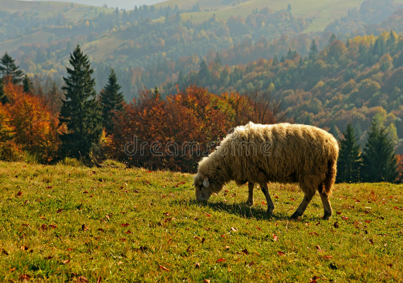 Download Livestock stock photo. Image of grass, autumn, animals - 29365352