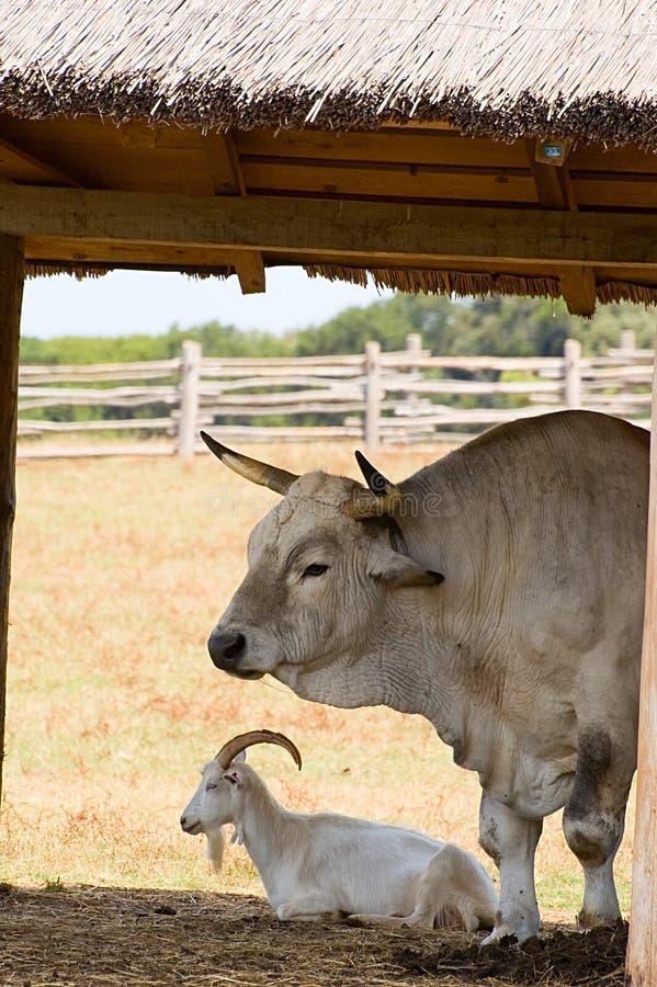 Free Livestock Stock Photo - 5970660