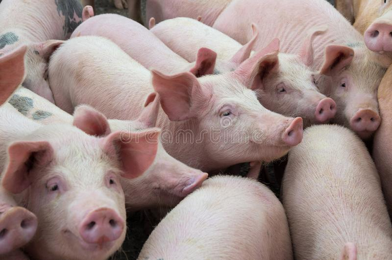Livestock breeding. The farm pigs. Livestock breeding. Group of pigs in farm yard stock images