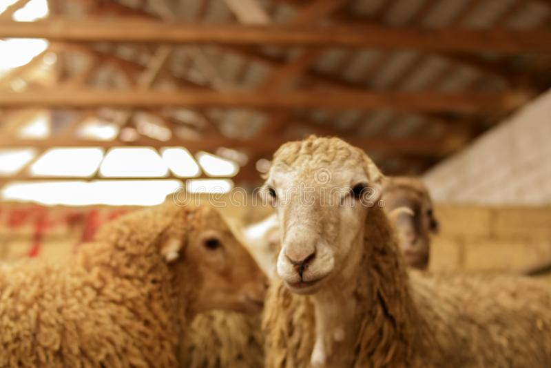 Livestock farm, flock of sheep. Indoor shot. royalty free stock photos