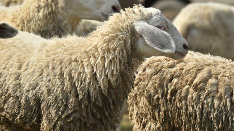 Livestock farm, flock of sheep royalty free stock image