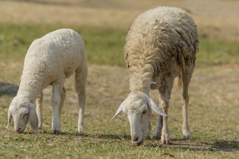 Livestock farm, flock of sheep. In Thailand animal nature pasture wool grass agriculture meadow rural countrye ewe green lamb mammal white farming field herd royalty free stock photos