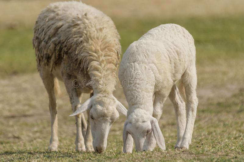 Livestock farm, flock of sheep. In Thailand animal nature pasture wool grass agriculture meadow rural countrye ewe green lamb mammal white farming field herd stock image