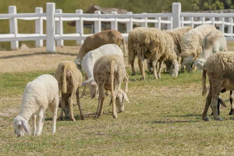 Livestock farm, flock of sheep. In Thailand animal nature pasture wool grass agriculture meadow rural countryside ewe green lamb mammal white farming field herd stock image