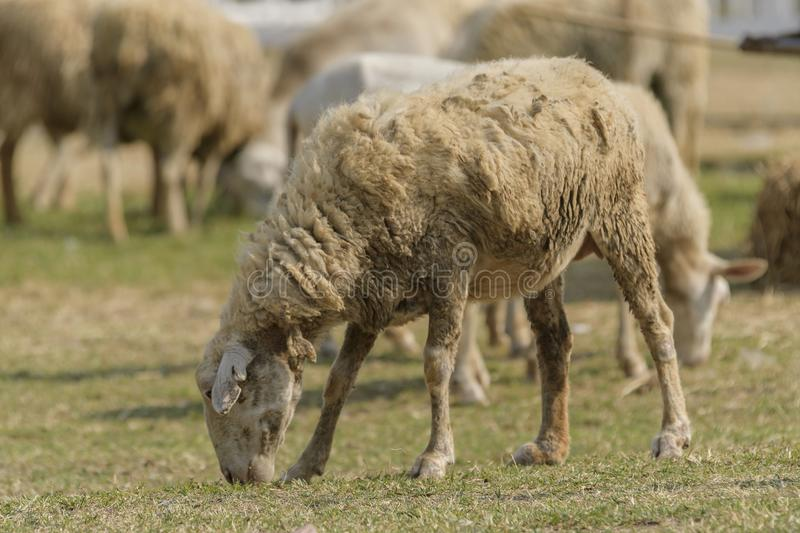 Livestock farm, flock of sheep. In Thailand animal nature pasture wool grass agriculture meadow rural countryside ewe green lamb mammal white farming field herd stock photo