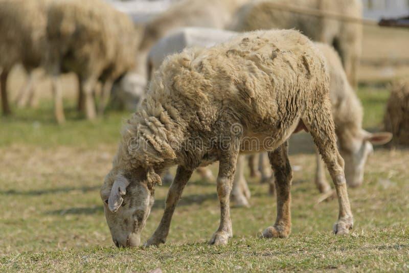 Livestock farm, flock of sheep stock photo