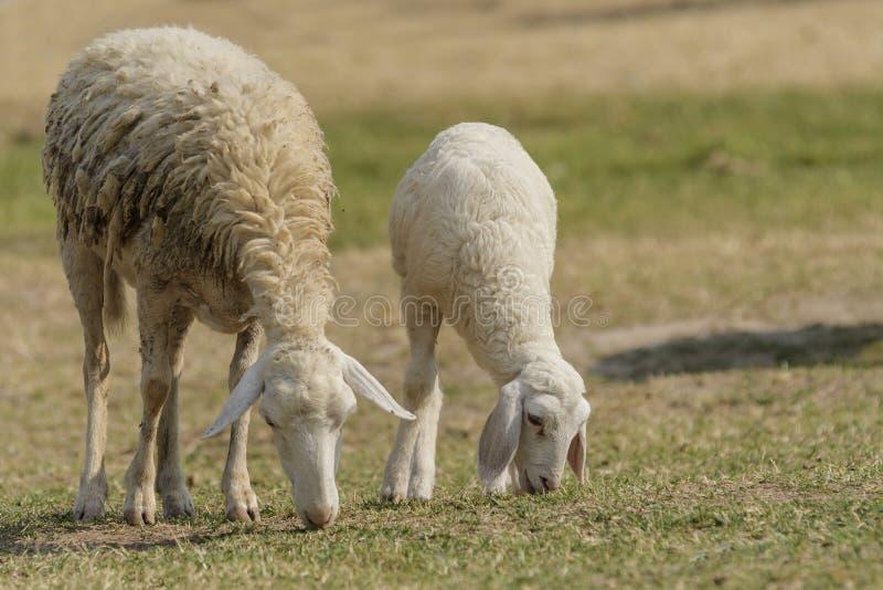 Livestock farm, flock of sheep royalty free stock photo