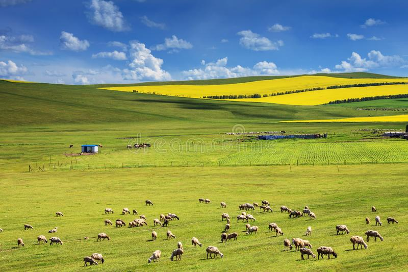 Livestock grazing on the grassland royalty free stock photos
