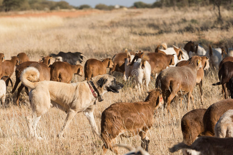 Livestock guarding dog amongst herd. A Kangal livestock guarding dog roams in between a herd of Damara fat-tailed sheep, Namibia, June royalty free stock photo