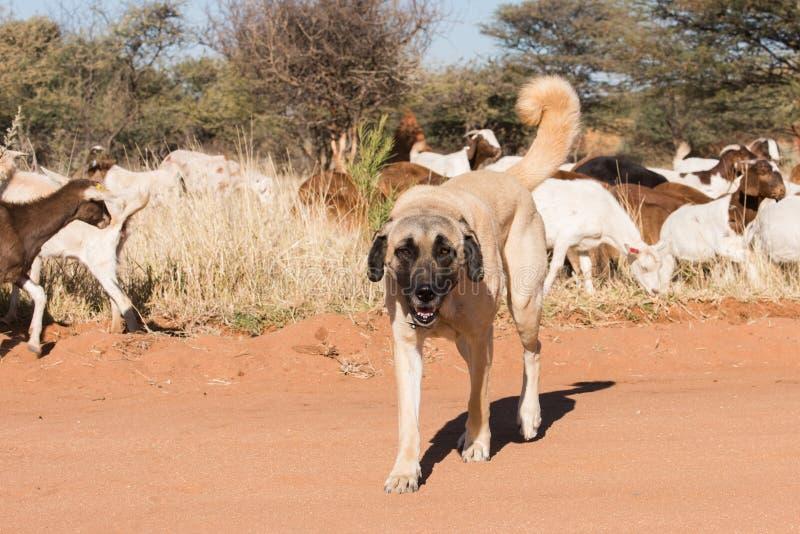 Livestock guarding dog. A Kangal livestock guarding dog roams in between a herd of Damara fat-tailed sheep, Namibia, June royalty free stock images