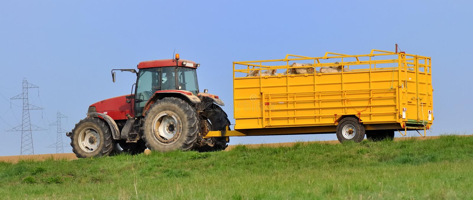 Livestock transport. Cattle truck carrying cows on a country road stock photography
