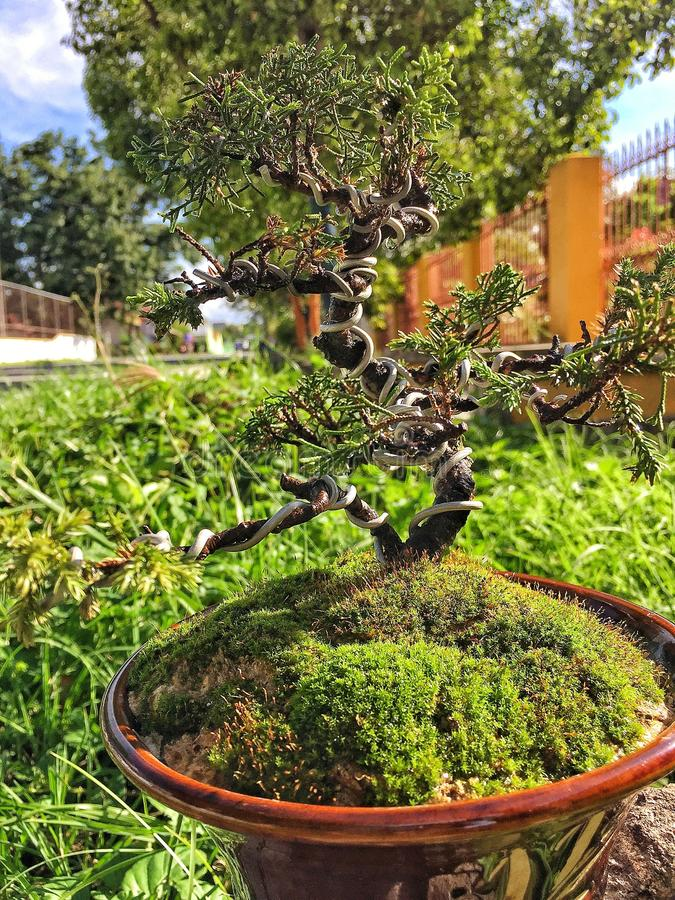 Living beings. The initial process of a beauty of bonsai tree royalty free stock photo
