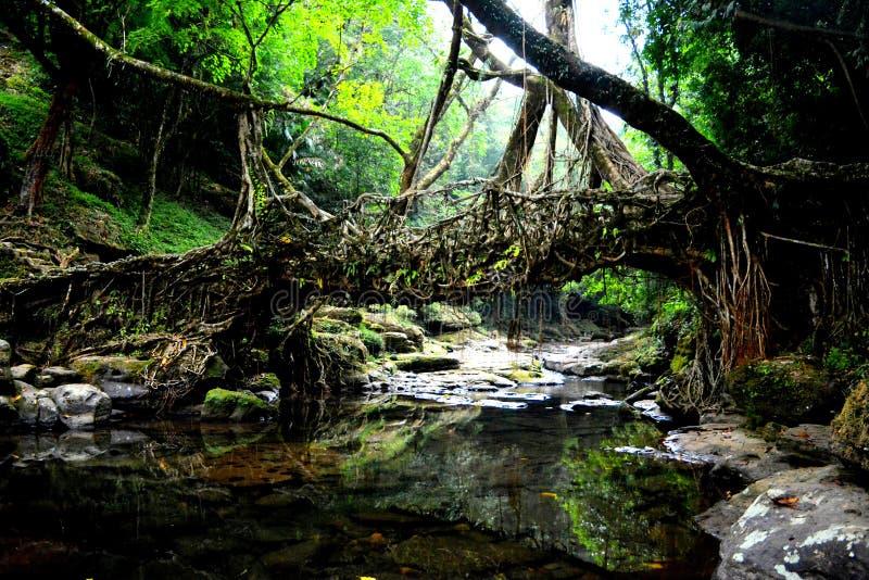Living bridges royalty free stock photos