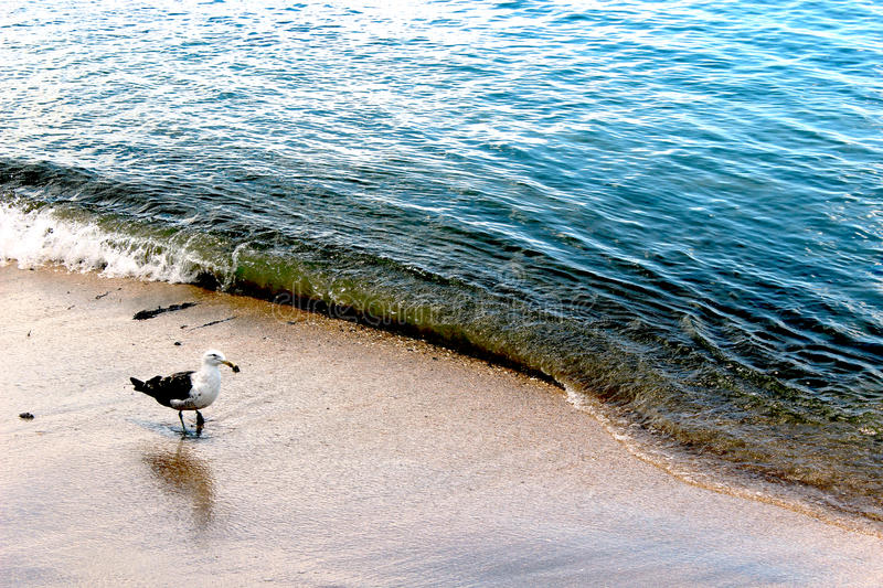 Living Danger. Seagull on a beach in Auckland New Zealand royalty free stock photos
