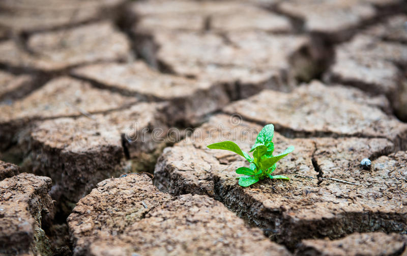 Living with Drought, Reborn tree, cracked ground royalty free stock photos