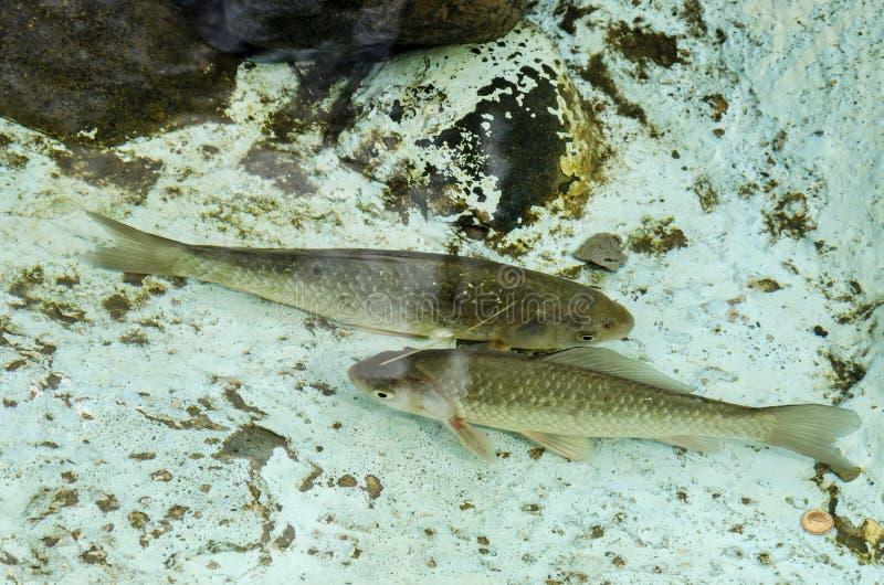 Living fish in aquarium or small lake outdoor. Pancharevo, Bulgaria stock photos