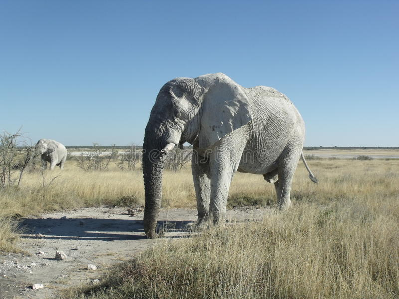 African elephant roaming in Etosha Namibia royalty free stock images