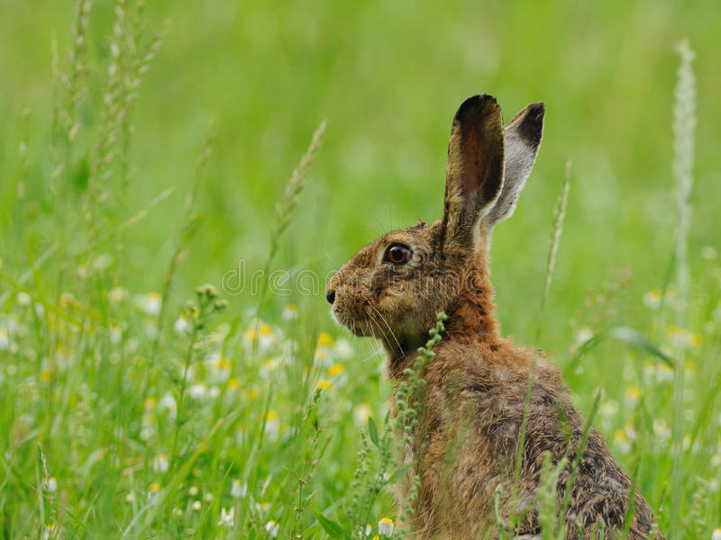 Living in the Grassland. This portrait of a hare i can photograph in the morning in the grassland royalty free stock images