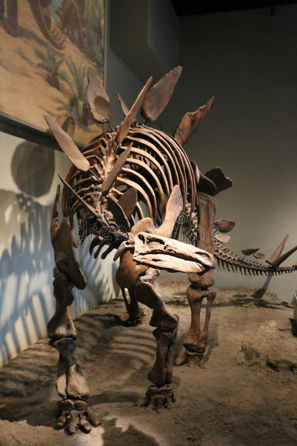 Stegosaurus stock photos