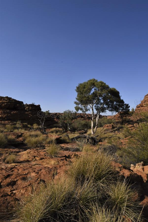 Living on the Rim - A Tree at Kings Canyon. Desert landscape at kings Canyon broken by the presence of a gum tree and some spinifex grass stock photos