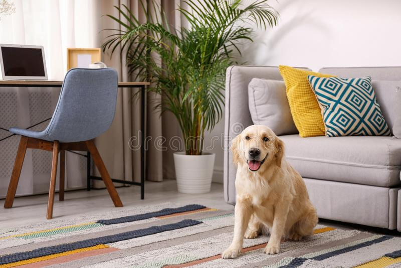 Living room interior. Cute Golden Labrador Retriever near couch royalty free stock photography
