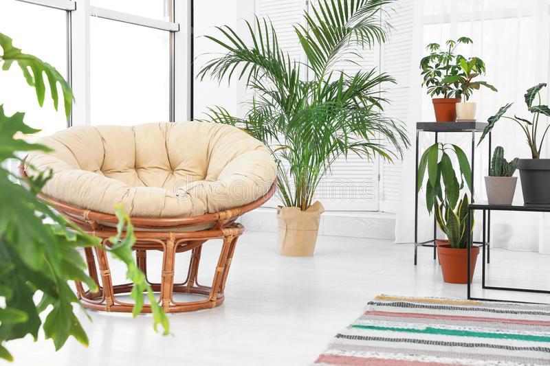 Living room interior with papasan chair and indoor plants royalty free stock photo