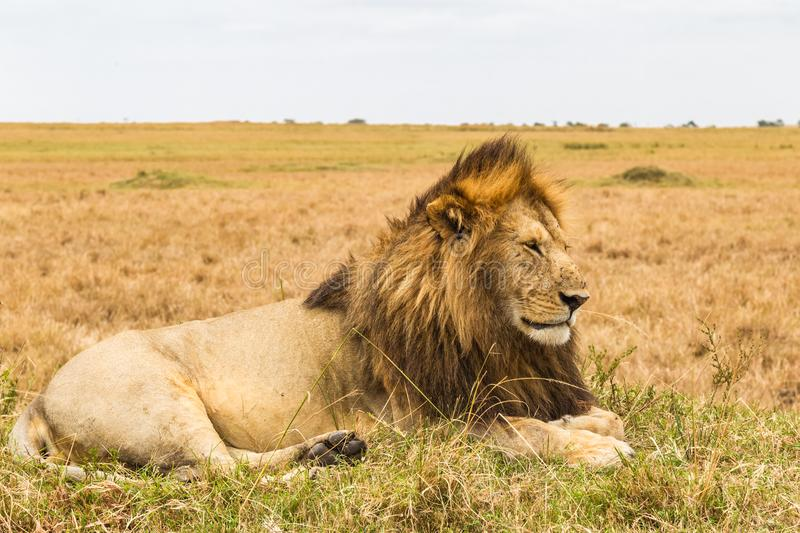 The living sphinx. African lion on a hill. Kenya. Africa stock image