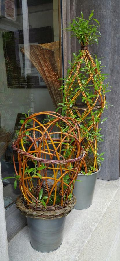 Living willow plant sculptures in pots. Pots of living and growing willow cane plant sculptures in pots on windowsill in front of window stock images