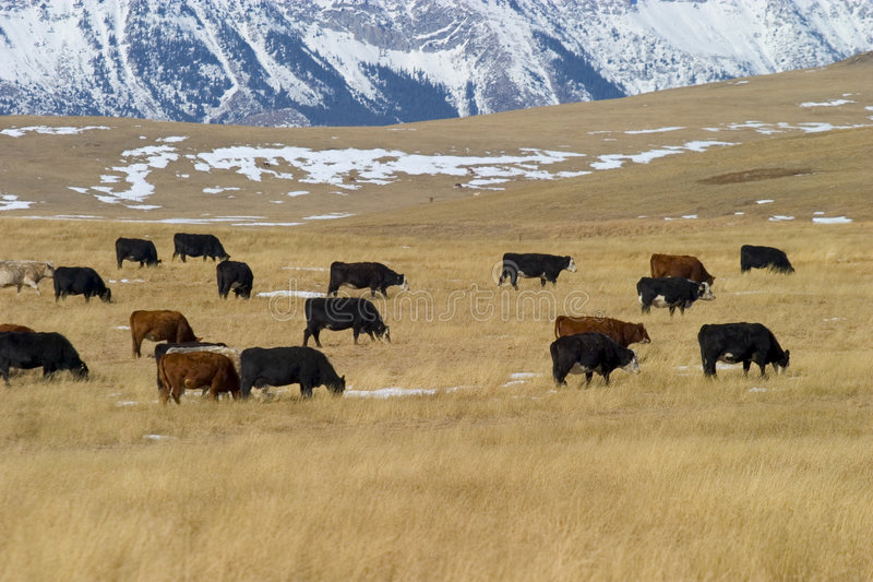 Download Livingston Ranch 1 stock photo. Image of stock, ranch, cattle - 119576