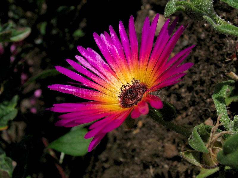 Livingstone Daisy. /Mesembryanthemum Criniflorum royalty free stock images
