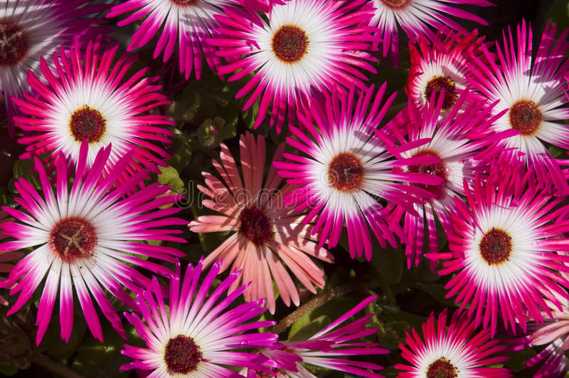 Livingstone daisy show. A show of Livingstone daisy flowers in the spring sunshine. The flowers close at night royalty free stock images