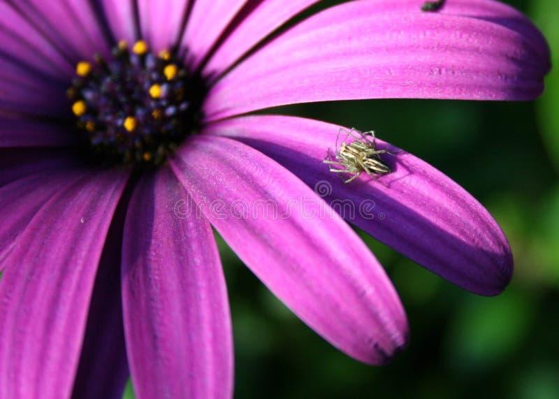 Livingtone Daisy with Spider stock photo