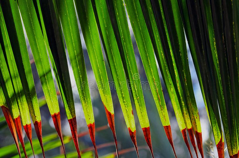 Livistonaanständigheter, palmträdblad arkivbilder