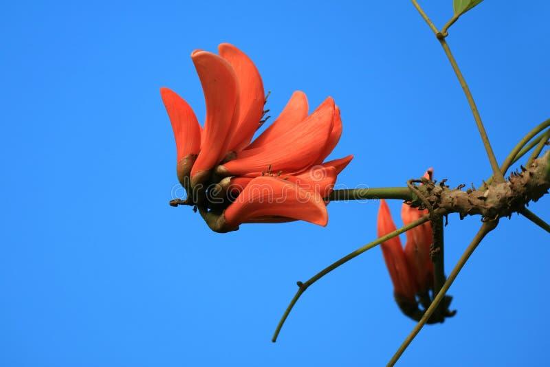 Livlig orange färg Coral Tree Flower Blooming mot vibrerande blå klar himmel av påskön, Chile royaltyfria bilder