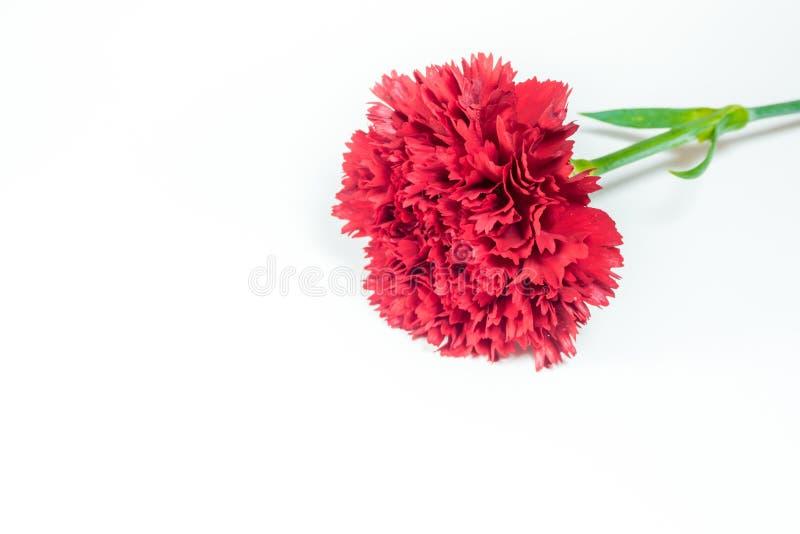 Livlig röd nejlika som isoleras på vit bakgrund fotografering för bildbyråer