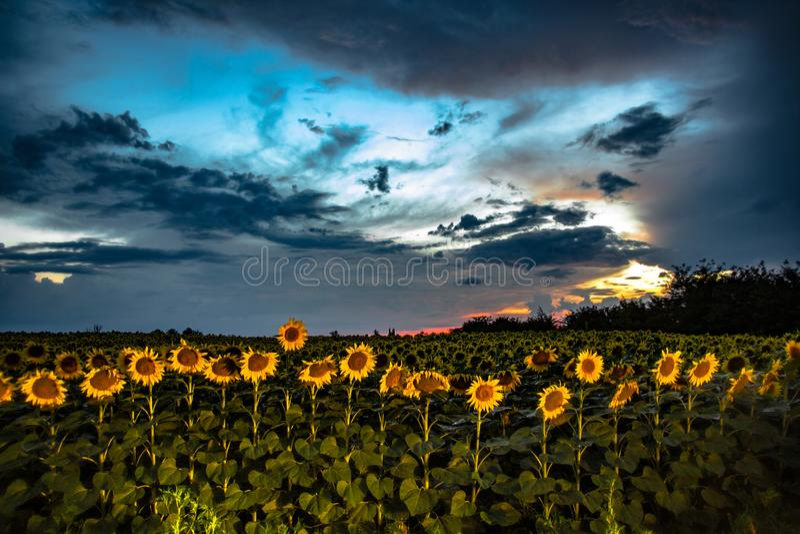 Livlig solnedgång med solrosfältet och moln royaltyfri bild