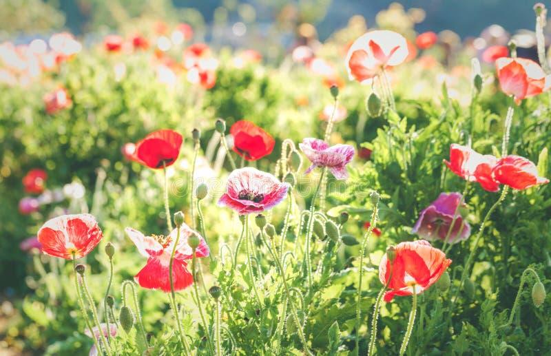 Livlig vallmo för mjuk fokus på fältet som symbolet för minnet Da royaltyfria bilder